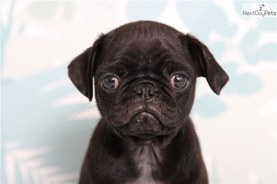 Mr Pepper Pug Puppy For Sale Near Ft Myers Sw Florida Florida