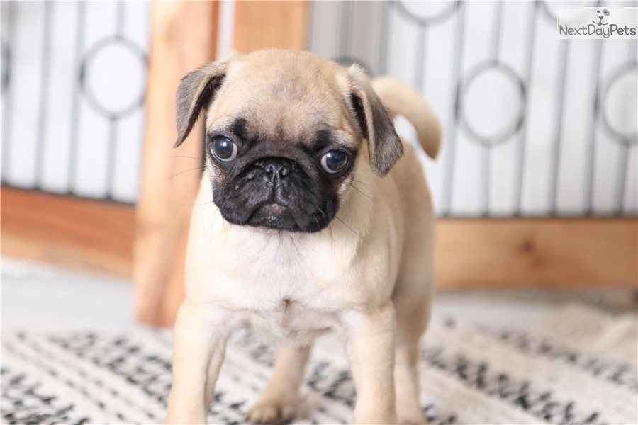 Pug puppy for sale near Ft Myers / SW Florida, Florida