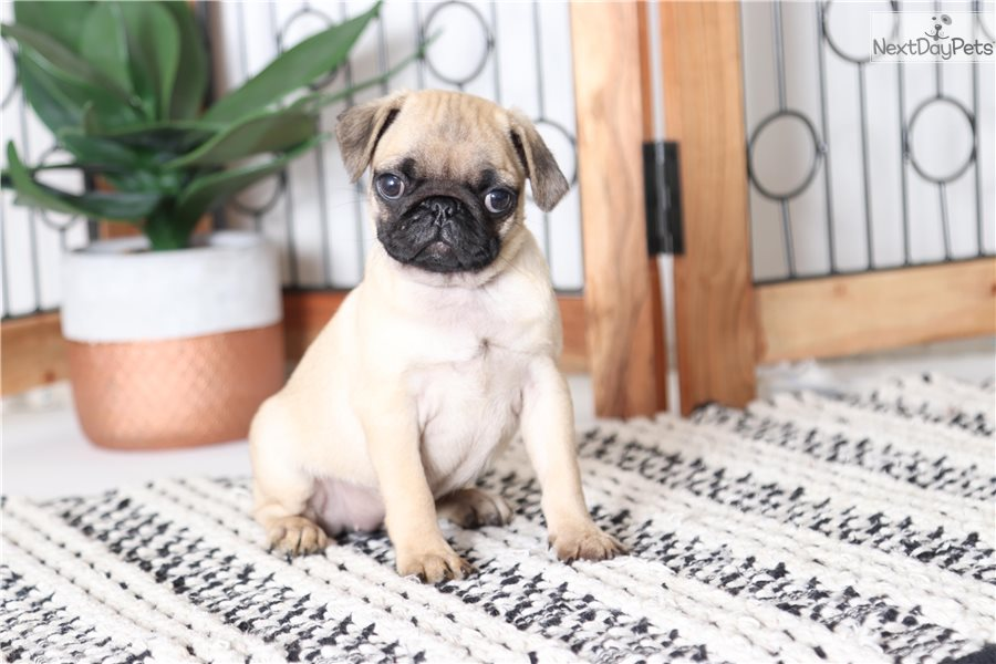 Pug puppy for sale near Ft Myers / SW Florida, Florida | 36a4c87e-4bb1