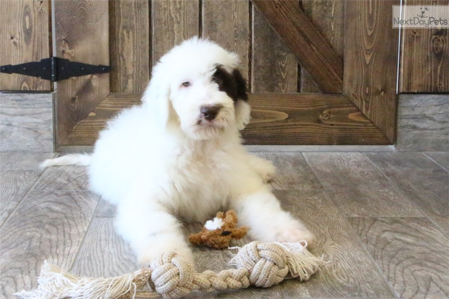 Olivia: Sheepadoodle puppy for sale near Ft Myers / SW Florida