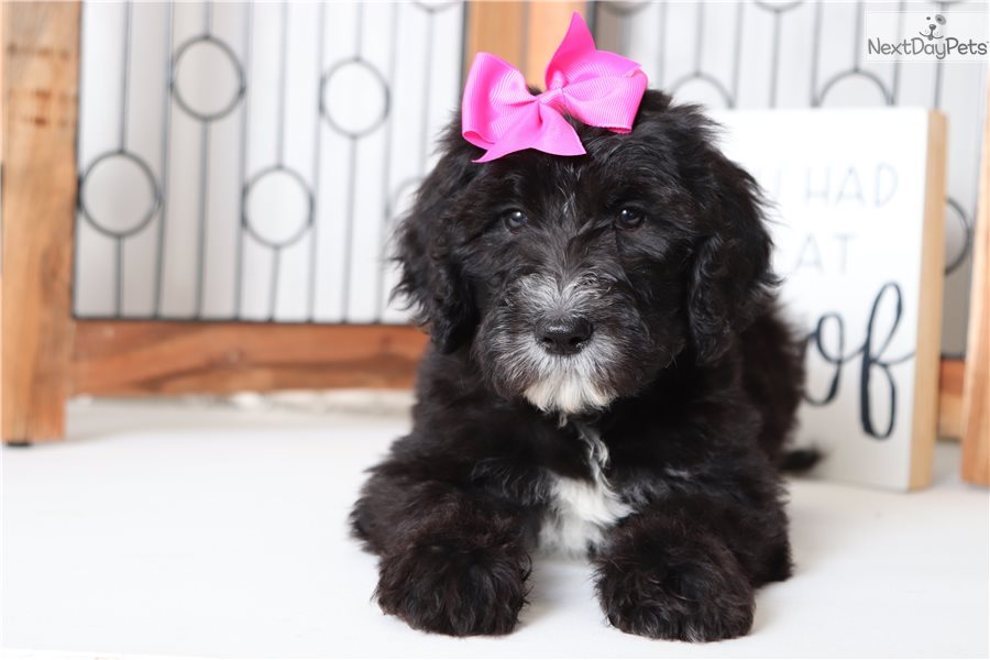 Helen: Sheepadoodle puppy for sale near Ft Myers / SW Florida