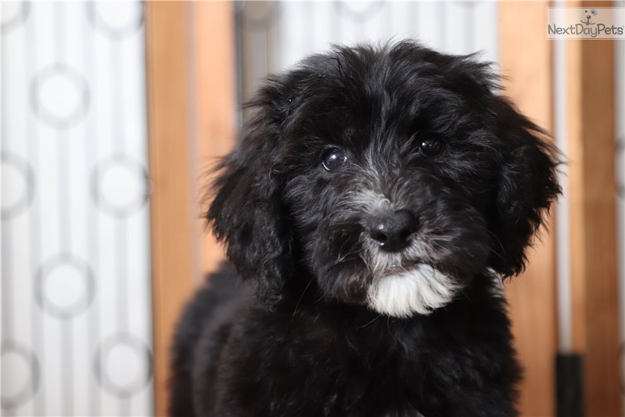 Sheepadoodle puppy for sale near Ft Myers / SW Florida, Florida