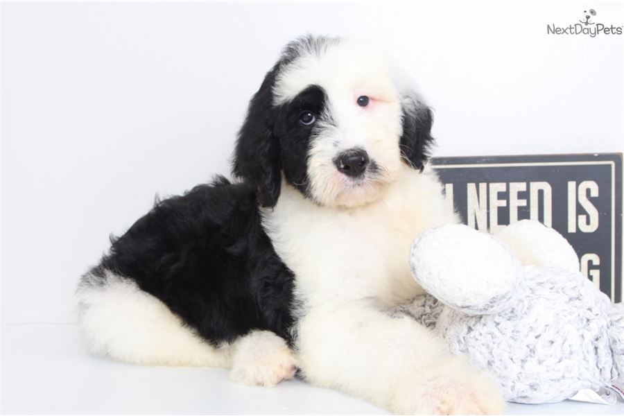 Zeke Sheepadoodle Puppy For Sale Near Ft Myers Sw Florida