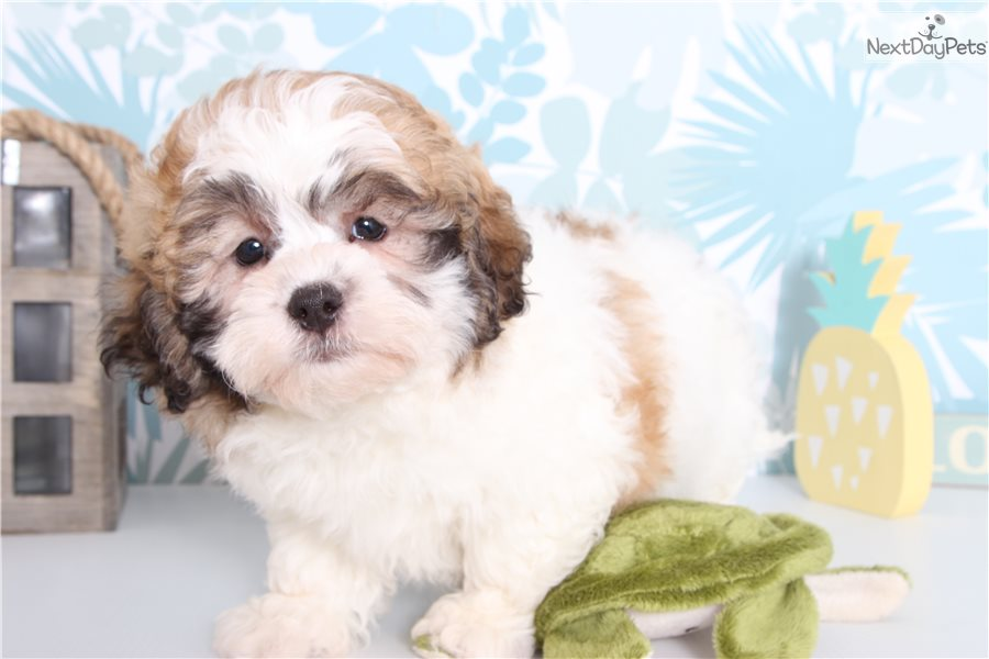 Bubba Shih Poo Shihpoo Puppy For Sale Near Ft Myers Sw Florida