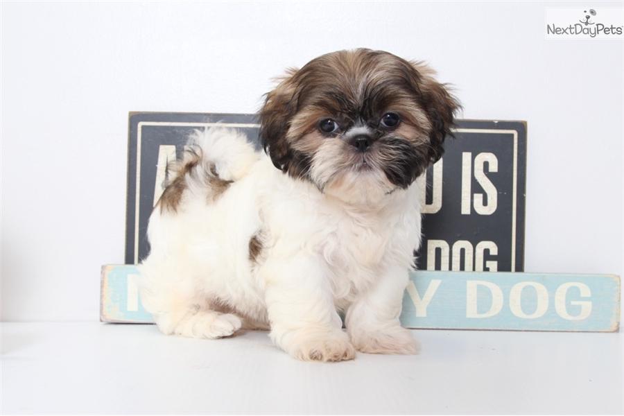 Lori Shih Tzu Puppy For Sale Near Ft Myers Sw Florida Florida