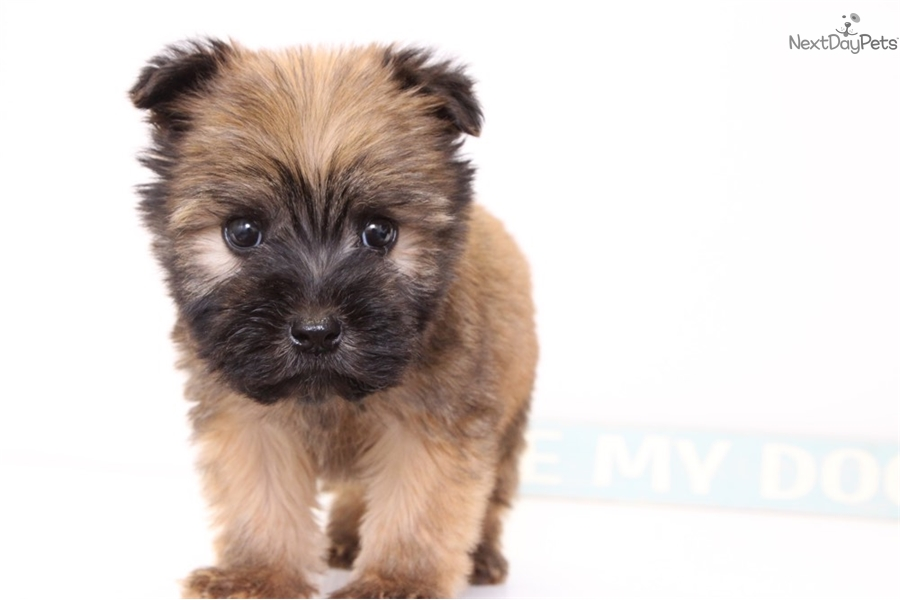 Martin: Soft Coated Wheaten Terrier puppy for sale near Ft