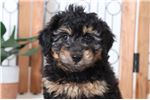 Aussiedoodle for sale