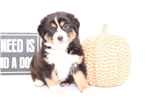 Mia- Female Australian Shepard Puppy | Puppy at 12 weeks of age for sale