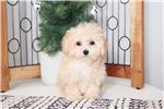 Picture of Morgan - Loving Female Poochon Puppy