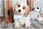 Picture of Oakley- Spunky Male Cavachon Puppy