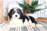 Picture of Mikey- Playful Male Cavachon Puppy