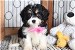 Picture of Lizzy- Sweet Female Cavachon Puppy