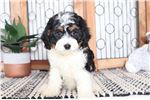 Picture of Abigail- Precious Female Cavachon Puppy