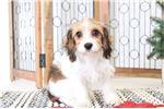 Picture of Hazel- Sweet Female Cavachon Puppy