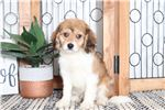 Picture of Josh- Adorable Male Cavachon Puppy