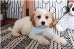 Picture of Luke- Loving Male Cavachon Puppy