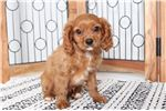 Cavapoo for sale