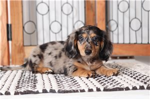 Picture of Maggie Dachshund