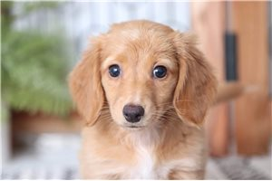 Picture of Bows Dachshund