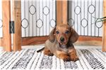Picture of Billy – Cutest Smooth ACA Male Mini Dachshund