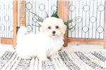 Picture of Grant- Cuddly Male Lhasa-Poo Puppy