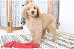 Picture of Jackson- Playful Male Lhasapoo Puppy