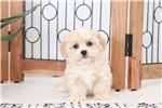 Picture of Lacy- Sweet Female Lhasa-Poo Puppy