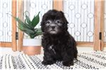 Picture of Danny- Handsome Male Lhasapoo Puppy