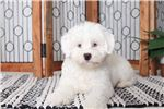 Picture of Rollie – Cuddly Male Lhasa-Poo Puppy