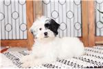 Picture of Olivia- Sweet Little Female Lhasa Poo Puppy