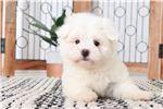 Picture of Ava- Loving Female Maltese Puppy