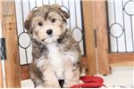 Picture of Pax- Male Morkie Puppy