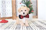 Picture of Jefferson- Male Morkie Puppy