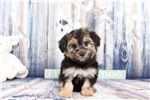 Picture of Sady- Female Morkie Puppy