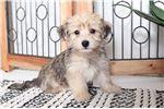 Shih-Poo - Shihpoo for sale