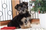 Picture of Frank Male Morkie Puppy