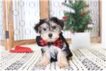 Picture of Geoffrey- Male Morkie Puppy