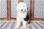 Picture of Everett – Amazing Male AKC Old English Sheepdog Pu