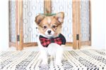 Picture of Ralphie- Loving Male Papillon Puppy