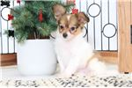 Picture of Fredrick- Cuddly Male Papillon Puppy
