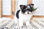 Picture of Tania- Precious Female Papichon Puppy
