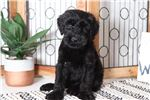 Picture of Benny – Spunky Male AKC Giant Schnauzer Puppy