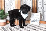 Picture of Checkers – Amazing Male AKC Giant Schnauzer Puppy