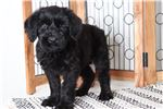 Picture of Shadow – Amazing Male AKC Giant Schnauzer Puppy