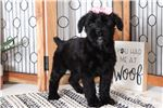 Picture of Maggie – Stunning Female AKC Giant Schnauzer Puppy