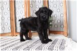 Picture of Rudolph – Amazing Male AKC Giant Schnauzer Puppy