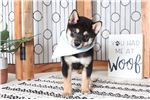 Picture of Ralphy – Fantastic ACA Male Shiba Inu Puppy