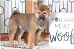 Picture of Fiona – Loving ACA Female Shiba Inu Puppy