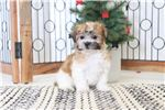 Picture of Isabella- Sweet Female Teddy Bear Puppy
