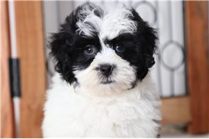 Tux Shihpoo | Puppy at 9 weeks of age for sale